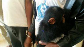 photochimpanzéboké
