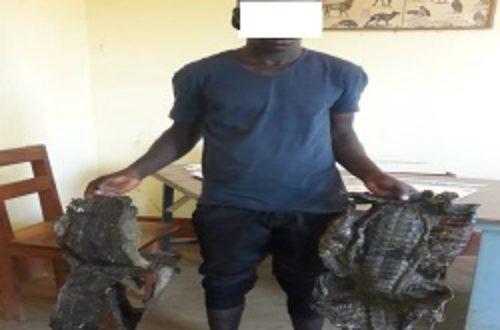 Article : Dalaba: un homme condamné pour abattage de crocodile et commercialisation de trophées d'animaux protégés.
