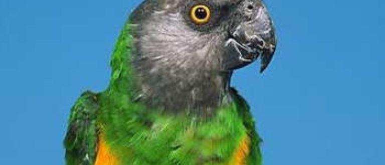 Article : Guinée: un présumé trafiquant de perroquets mis aux arrêts et placé sous mandat de dépôt.